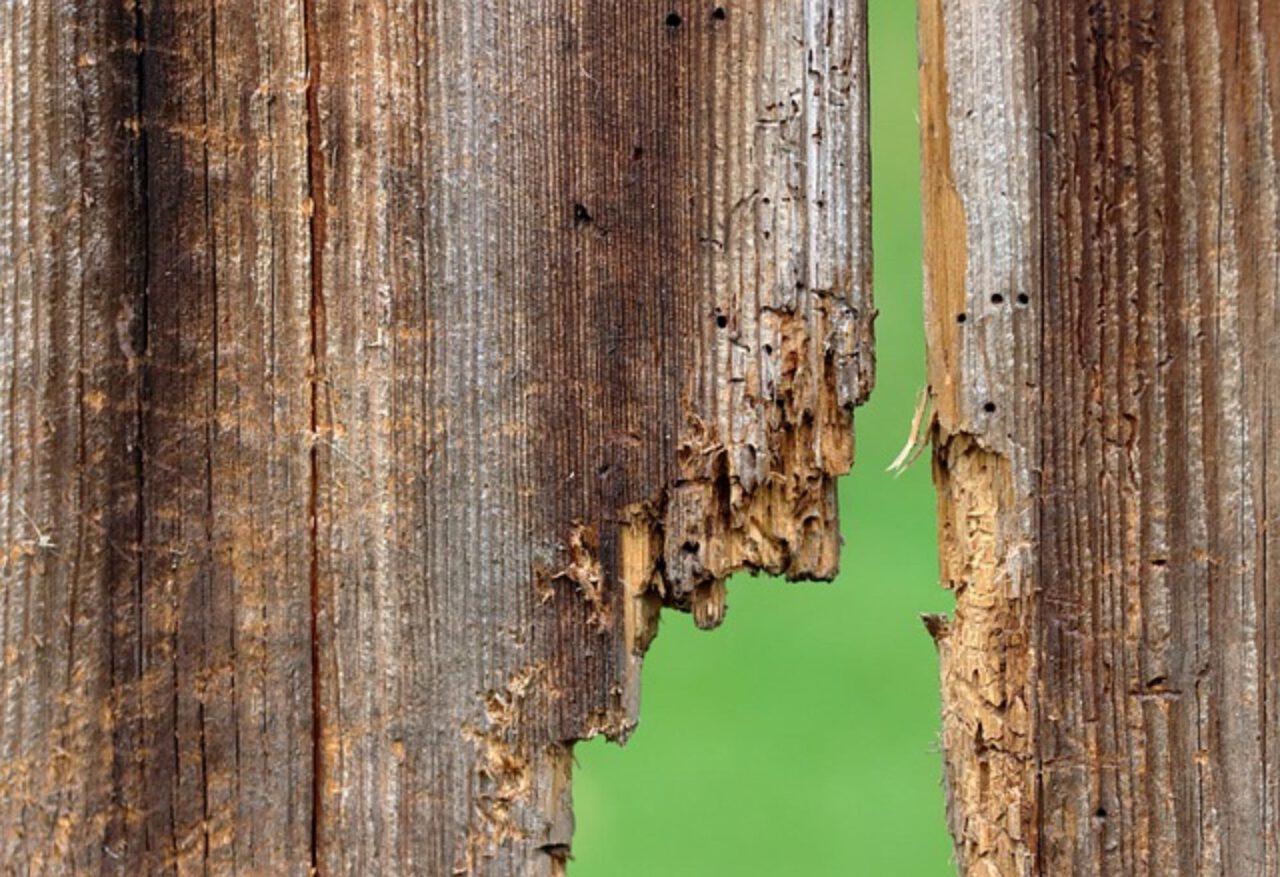 drewnojady